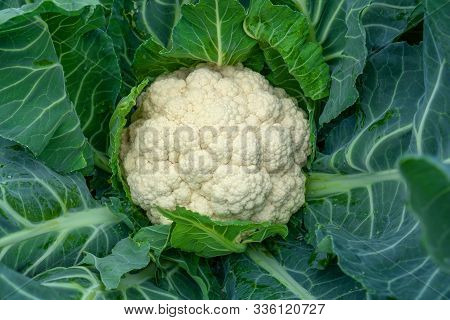 Cauliflower Grows In Organic Soil In The Garden On The Vegetable Area. Cauliflower Head In Natural C
