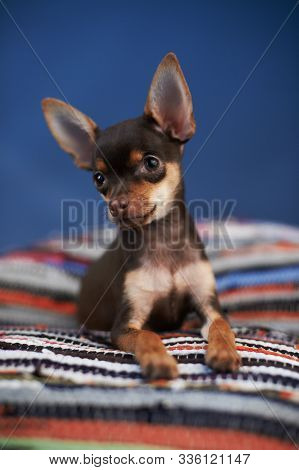 Beautiful Russian Toy Terrier Sits On A Striped Plaid On A Blue Background. Small Manual Domestic Do
