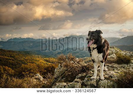 A Black & White Border Collie Sheepdog Standing On A Rock In The Mountains Of Corsica Under Late Aft