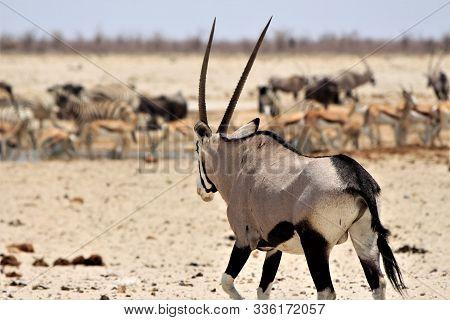 Oryx Antelope On His Way To A Waterhol At Etosha Nationalpark