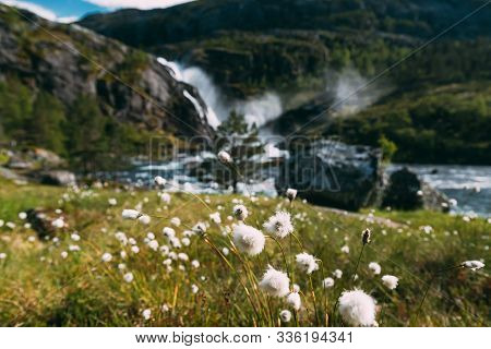 Kinsarvik, Hordaland, Norway. Norwegian Landscape With Mountains Cotton Grass, Cotton-grass Or Cotto