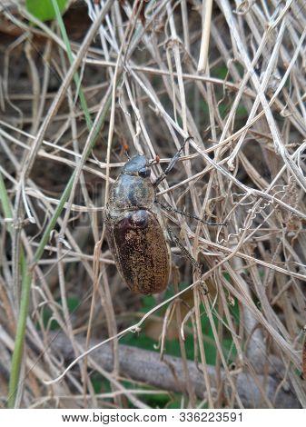 Lepidiota Stigma (ampal) The Exotic Animal From Asia (indonesia)