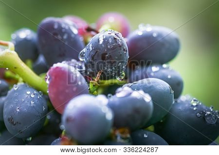 Cabernet Black Grape, Red Wine Made From Such Grapes. Cabernet Sauvignon Grapes. Winegrowers Grapes