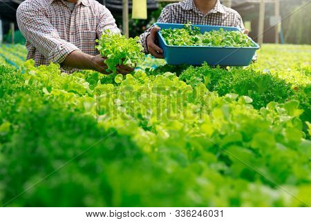 Hydroponics Farm ,worker Harvesting And Collect Environment Data From Lettuce Organic Hydroponic Veg