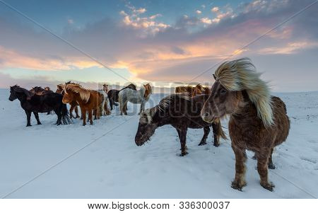 Iceland Horses On A Snowy Winter Day.
