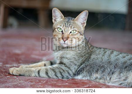 Portrait Of Striped Cat, Close Up Thai Cat, Close Relax Cat