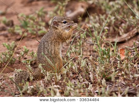 Squirrel eating grass seeds in a dry part of South Africa poster