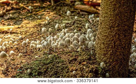 Close Up Of White And Beautiful Small Toadstool Mushrooms In The Forest Ground.these Are The Deadly
