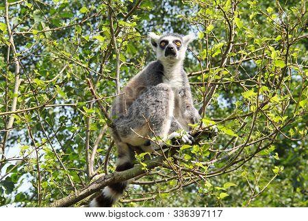 Cute Ring-tailed Lemur (lemur Catta) Sitting On The Branch Of Tree