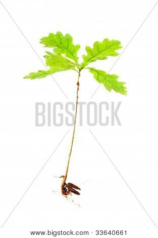 Oak From Roots On White Background