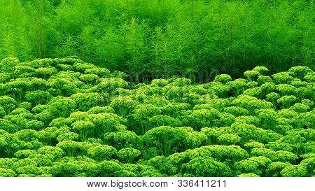 Sedum Plant Leaves Row Green Succulent Landscape Design Border. Vivid Sedum Line Horizontal Floral S