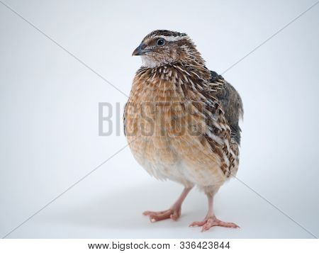 Portrait Of A Quail On A White Background