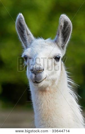 White Llama (Lama glama)