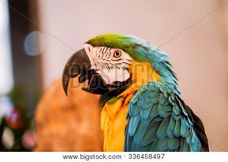 Blue And Gold Macaw (ara Ararauna).