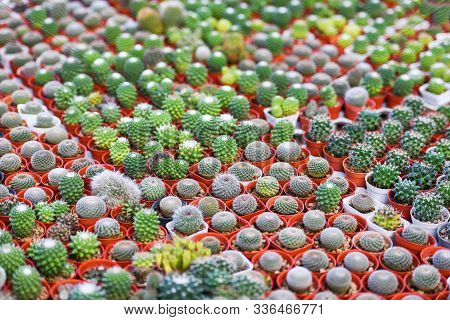 Miniature Cactus Pot Image Photo