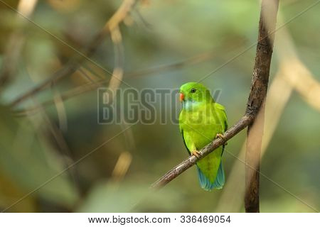 Vernal Hanging Parakeet On Branch, Loriculus Vernalis At Dandeli In Karnataka, India