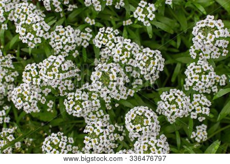 Lobularia Maritima Garden Plant Is Used To Decorate Borders, Flower Beds. Lawn Plant With White Smal