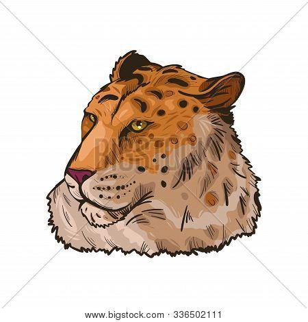 Liger Hybrid Offspring Of Lion And Tiger Isolated Vector Illustration Hand Drawn Portrait Sketch. Ex