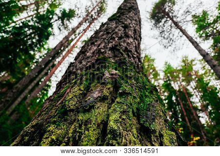 Old Pines In The Forest  Tops, Tree Trunks, Dark Deep Woods, Bottom Up View.