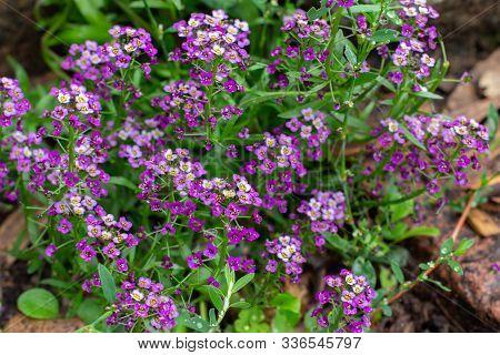 Lobularia Blossom With Purple Flowers. Garden Decorative Flowering Plant, Garden Decoration. Backgro