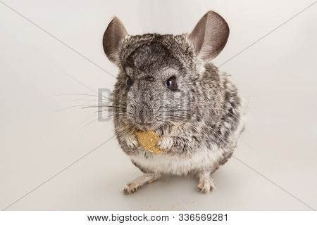 Nice Grey Chinchilla Rodent Domestic Animal Eating Pellets