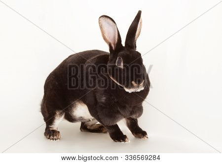 Nice Black Otter Rabbit As Rodent Pet