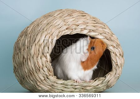 Nice Guinea Pig Mammal Rodent As Pet Animal