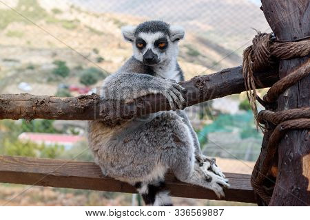 Single Ring-tailed Lemur, Lemur Catta, Sits On A Branch In A Zoological Garden.