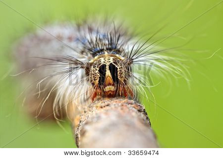Close-up Of Caterpillar's Head