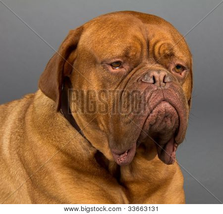 Dogue De Bordeaux Dog Laying Down And Looking Sad With Huge Jowls, Macro Head Shot