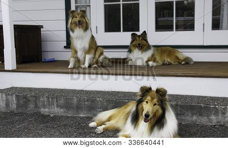 Trio Of Pedigree Purebred Rough Coated Black And Sable Collies Watching The World Go By