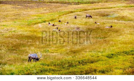 Herd Of Elk, Or Wapiti, In The Grasslands Along The Madison River In Yellowstone National Park, Wyom