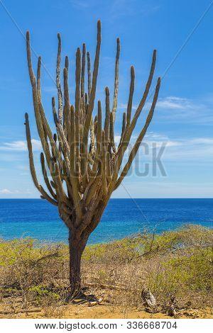 Cactus Tree Growing On Coast At Blue Ocean On Island Bonaire