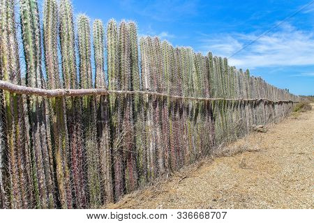 Cactus Plants Planted In A Long Row As Hedge Or Fence On Bonaire