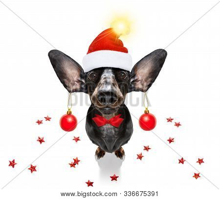 Dachsund Sausage Dog  As Santa Claus  For Christmas Holidays Resting On A Xmas Balls Baubles Hanging