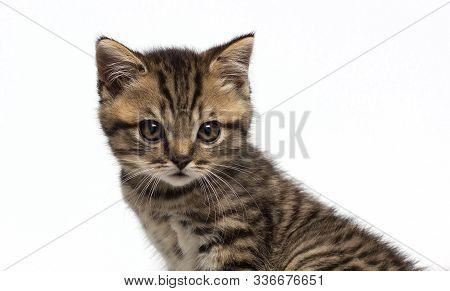Portrait Of Surprised Scottish Fold Cat White With Tabby Fur, Isolated On White Background