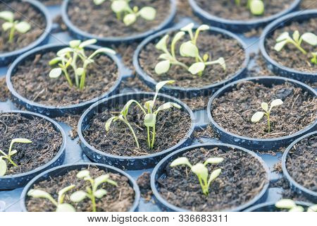 Young Rucola Plants, Young Rockets, Rucola Sprouts, Spring Seedlings.healthy Vegetable.