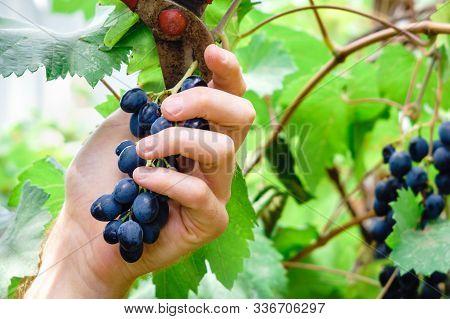 Harvesting Black Grapes In The Vineyard. Pruning Grapes Vineyard