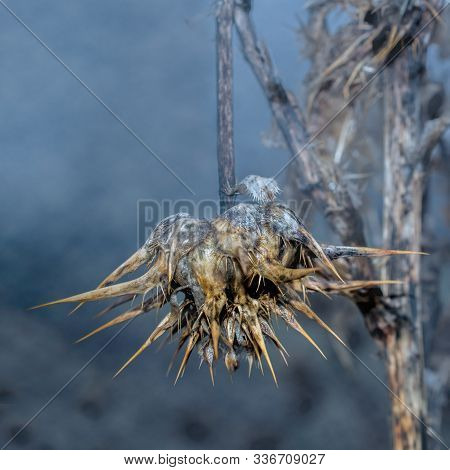 Dried Out And Dead Star Thristle Broken Facing Down In Foggy Landscape- Worn Out, Discouraged And De