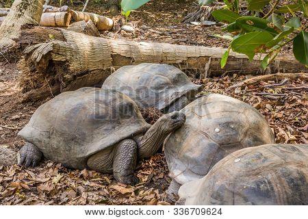Aldabra Giant Tortoise, Turtles On The Beach