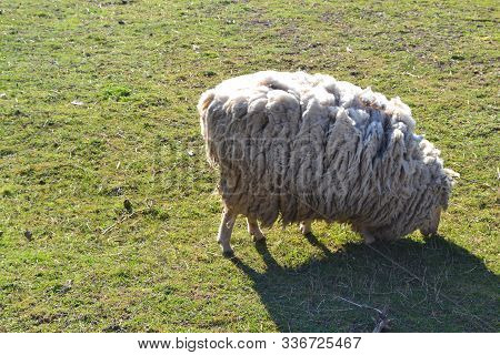 White Neglected Sheep On Spring Grass For Concept Of Environment. Rural Scenery.