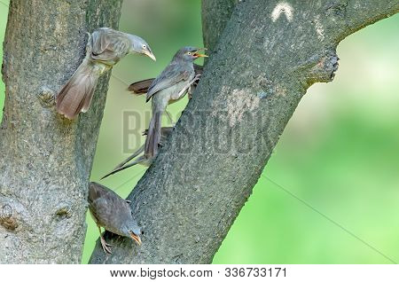 Jungle Babblers Watching And Making A Noise On A Tree