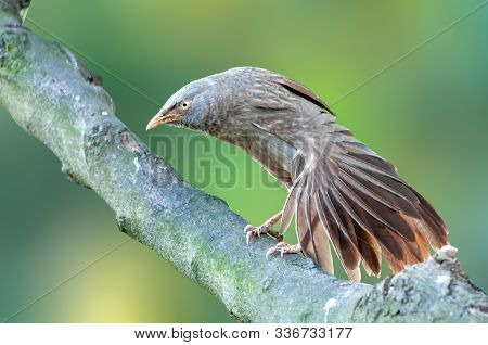 Jungle Babbler Having Stretch On A Tree Trunk