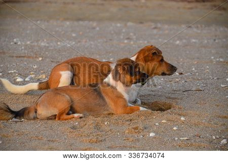 Two Brown And White Dogs On Watch Together At A Tropical Sandy Beach. Both Looking In The Same Direc