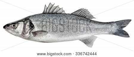 Sea Bass Fish. European Bass Isolated On White Background