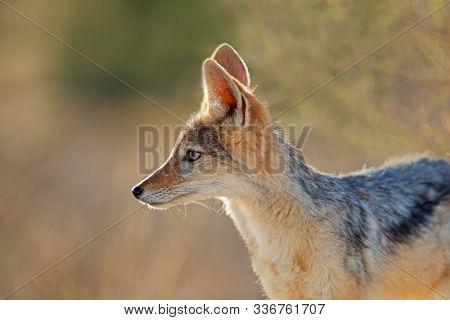 Portrait of a black-backed jackal (Canis mesomelas) in early morning light, Kalahari desert, South Africa