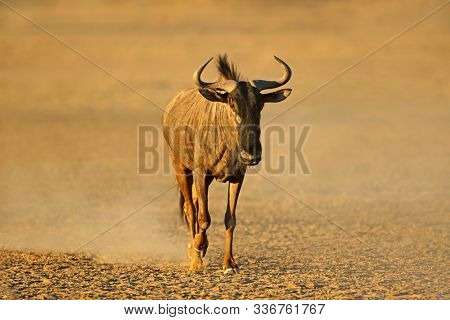 Blue wildebeest (Connochaetes taurinus) walking in dust, Kalahari desert, South Africa