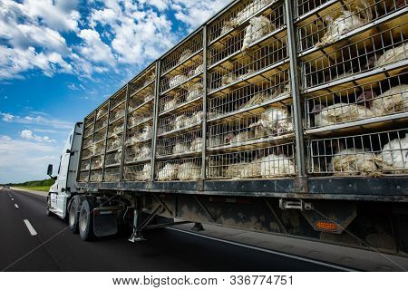 Low Angle And Rear View Of A Transportation Turkey Truck On The Roads, Lot Of White Turkeys In Cages