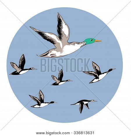 Drake, Wild Ducks, Flock Of Birds - Round Icon - Isolated On White Background - Vector. Environmenta
