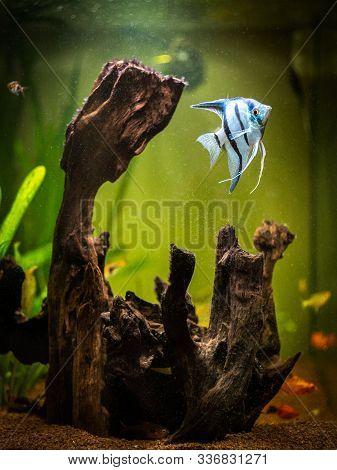 Angelfish In A Comunitary Tropical Aquarium (pterophyllum Scalare)